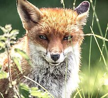 The young Fox by Anthony Hedger Photography