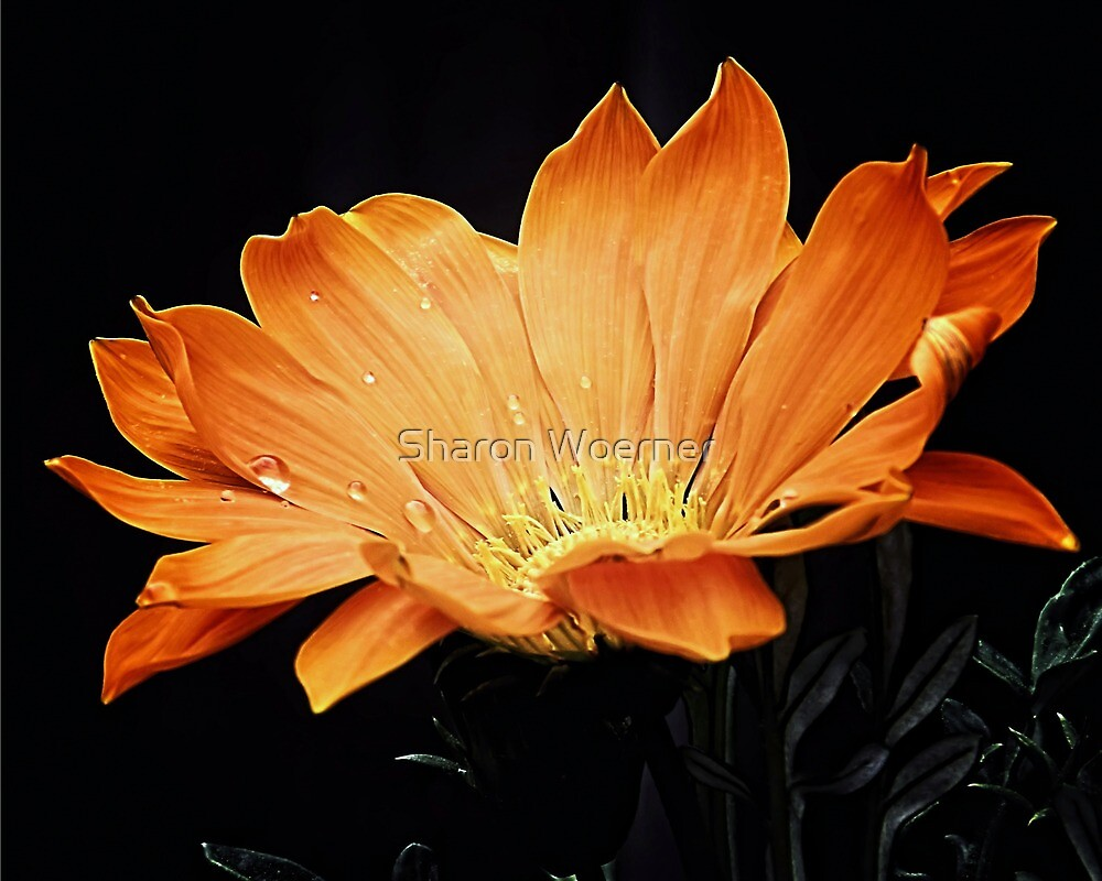 Orange Garganzia Flower by Sharon Woerner