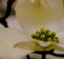 Dogwood Petals     ^ by ctheworld
