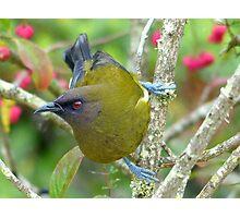 I'm Not Enjoying The Competition - Bellbird - NZ Photographic Print