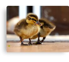 Boy... I Think I Ate Far Too Much... - Ducklings - NZ Canvas Print