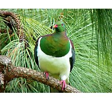Did You Knock On My Wood? - Wood Pigeon - NZ Photographic Print