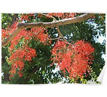 Flame Tree brilliance Poster