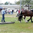Clydesdale at Gatton by Margaret  Hyde