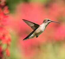 Ruby Throated Hummingbird 2016-6 by Thomas Young