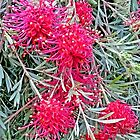 "Grevillea ""Ruby Red"" (2) by Margaret  Hyde"