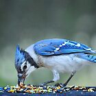Bluejay by Laurie Minor