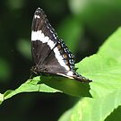 White Admiral Butterfly by caybeach