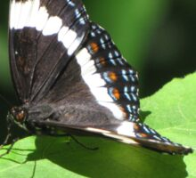 White Admiral Butterfly Sticker