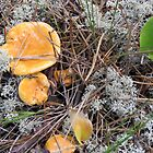 Chantrelle Mushrooms in Their Natural Habitat by MaeBelle