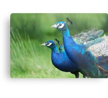 Peacocks in the Park Metal Print