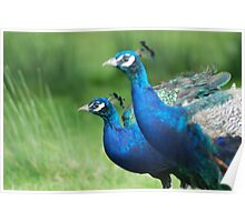 Peacocks in the Park Poster