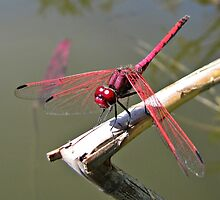 Red-veined Dropwing Dragonfly by Lee Jones