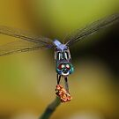 Blue Dasher #2  by Kane Slater