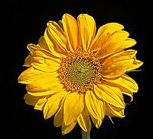 Sunflower by Alan Harman
