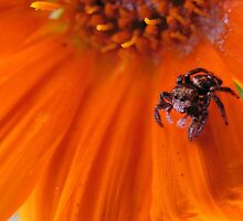 Jumping Spider on Gazania by Lee Jones