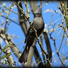Phainopepla~ Female by Kimberly Chadwick