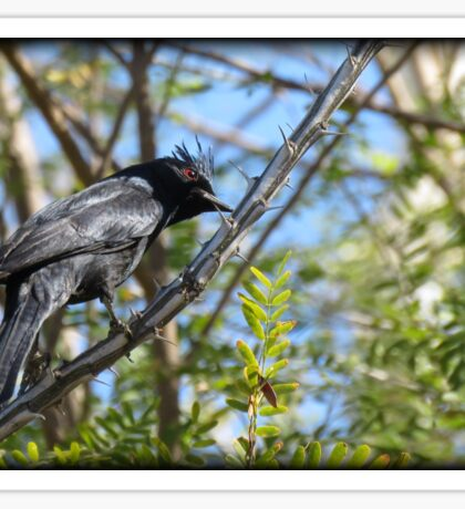 Phainopepla ~ Male Sticker