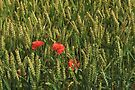 Poppies in the Rye by Irina777