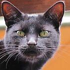 Black Tabby by Lee Jones