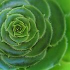 Crassula foliage rosette by Lee Jones