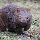 Wombat - Vombatus Ursinus by Liz Worth