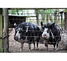 Just Us Pigs Photographic Print