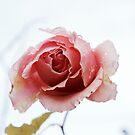 Bedewed Rose by Mishka Gora