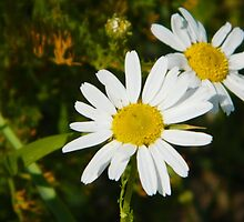 Chamomile by LADeville