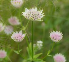 Pale pink Astrantias amongst ornamental grasses by Judi Lion