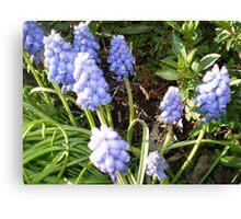 Grape Hyacinth -make a good border Canvas Print
