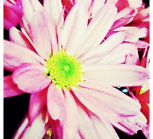 Daisy in pink  Photographic Print