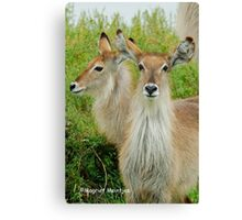 THE YOUNG ONES - THE WATERBUCK - Kobus ellipsiprymnus Canvas Print