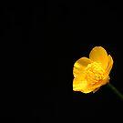 Buttercup by Alan Harman