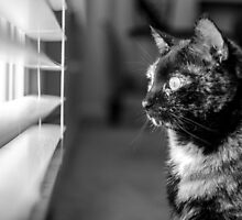 Cat looking out of window by psankey