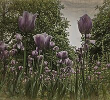 St James's Park Tulips by photograham