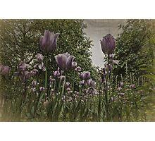St James's Park Tulips Photographic Print