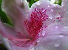 azalea by Tania  Donald