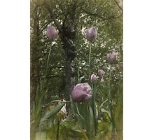 St James's Park Tulips 2 Photographic Print