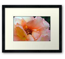 Macro on delicate pink rose. Framed Print