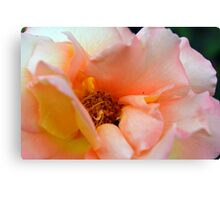 Macro on delicate pink rose. Canvas Print