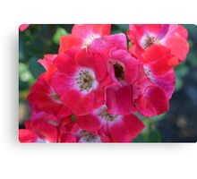 knockout roses Canvas Print
