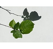 Sophisticated Shadows - Glossy Hazelnut Leaves on White Stucco - Horizontal View Left Down Photographic Print