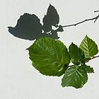 Sophisticated Shadows - Glossy Hazelnut Leaves on White Stucco - Horizontal View Right Down by Georgia Mizuleva