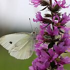 Veined White on Purple Loosestrife by cuprum