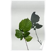 Sophisticated Shadows - Glossy Hazelnut Leaves on White Stucco - Vertical View Upwards Right Poster
