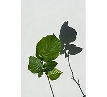 Sophisticated Shadows - Glossy Hazelnut Leaves on White Stucco - Vertical View Upwards Right Photographic Print
