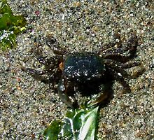 Small Crab left on the Beach by AnnDixon