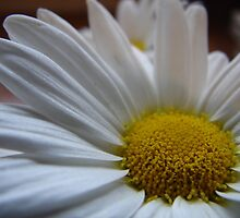 Daisy! by Mary Ellen Tuite Photography