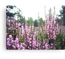Heathers in bloom Canvas Print